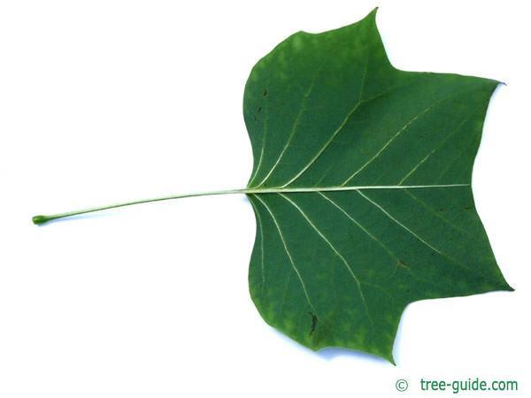 A tulip poplar leaf